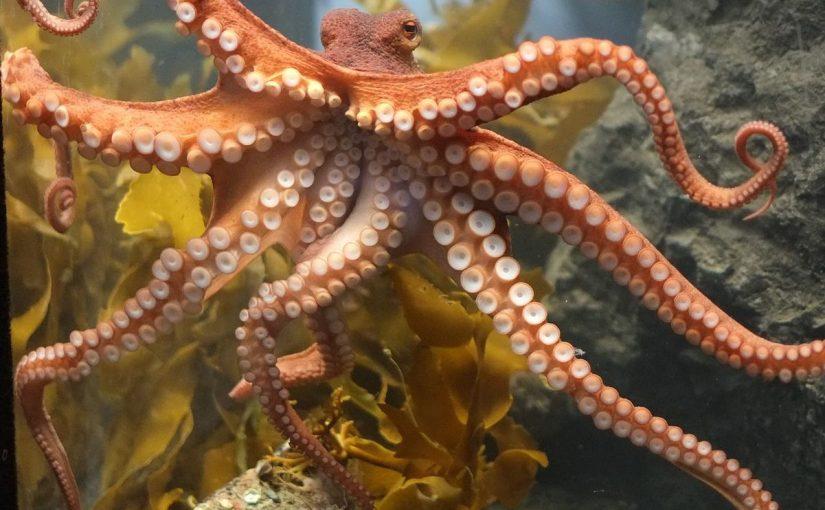 Pieuvre, tout savoir sur cet animal sous marin